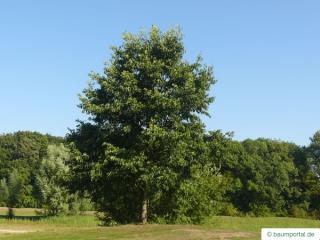 spaehts alder (Alnus spaethii) tree in summer