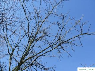 swamp white oak (Quercus bicolor) crown in winter