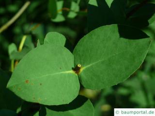 tasmanian snow gum (Eucalyptus coccifera) leaf