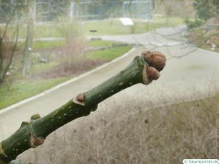 texas ash (Fraxinus texensis) terminal bud