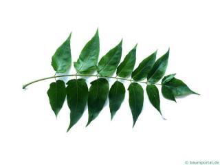 tree of heaven (Ailanthus altissima) leaf