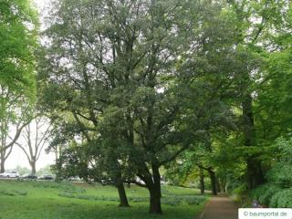 turners oak (Quercus turneri 'Pseudoturneri') tree