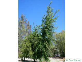 valley oak (Quercus lobata) tree