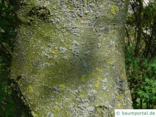 vine-leaved maple (Acer cissifolium) trunk / bark