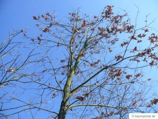white oak (Quercus alba) crown in winter