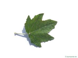 white poplar (Populus alba) leaf