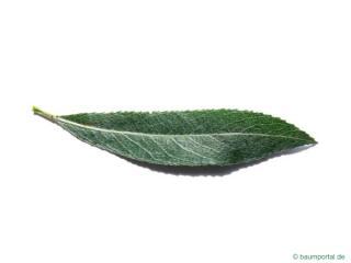 white willow (Salix alba) leaf