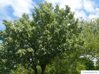 whitebeam (Sorbus aria) crown in summer