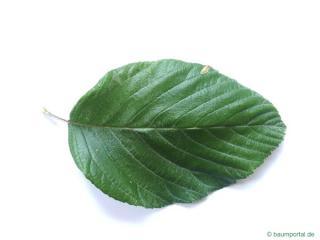 whitebeam (Sorbus aria) leaf