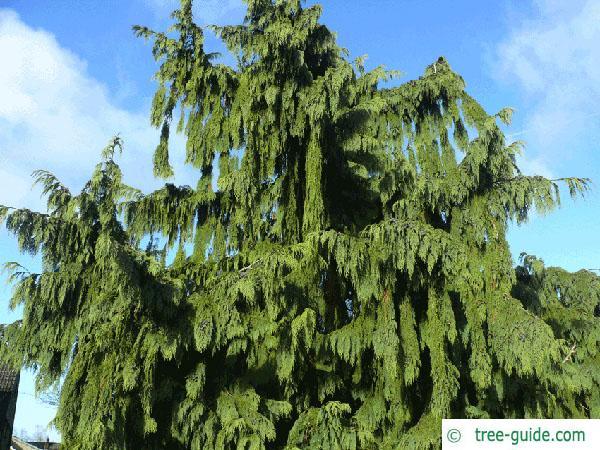 alaska cyprus (Chamaecyparis nootkatensis 'Pendula') tree