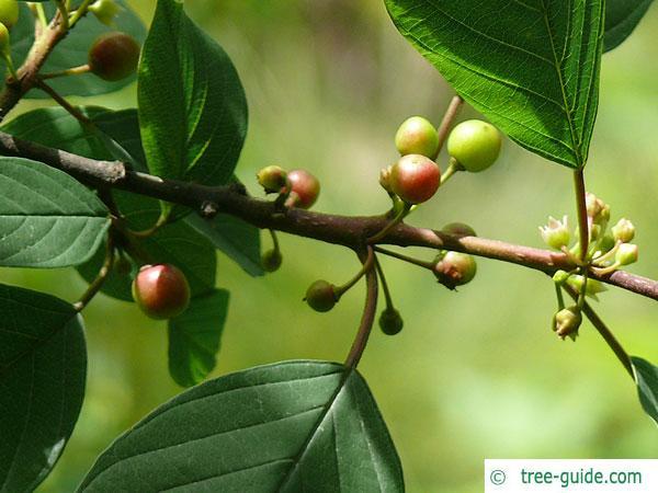 alder buckthorn (Rhamnus frangula) young fruits