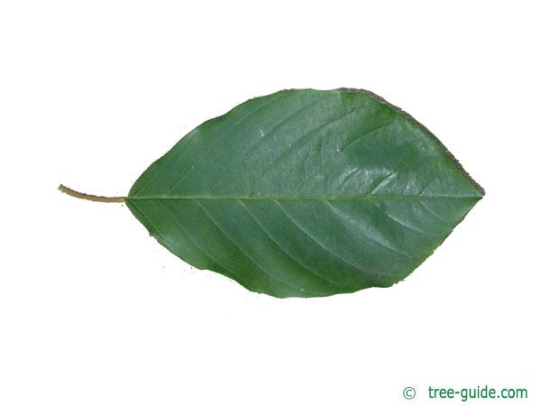 alder buckthorn (Rhamnus frangula) leaf