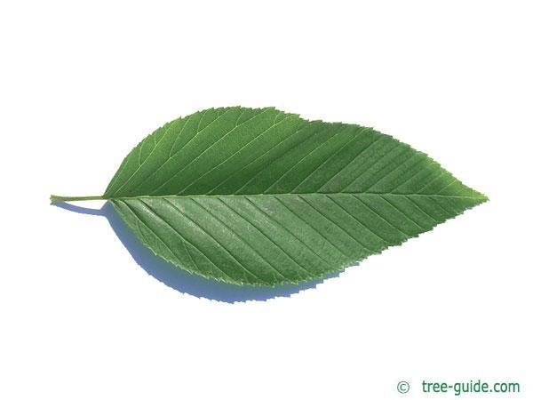 Alnus firma leaf