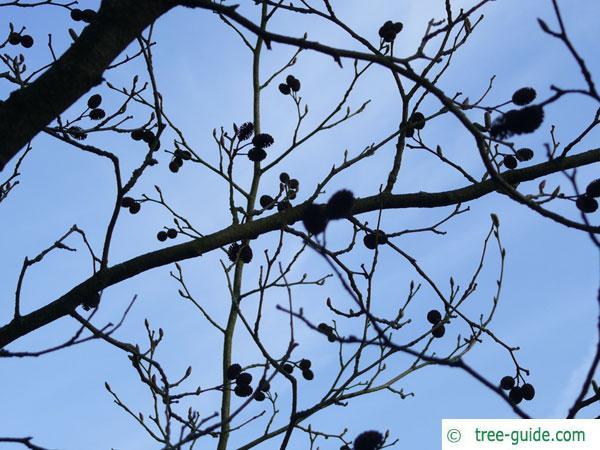 Alnus firma tree crown in winter