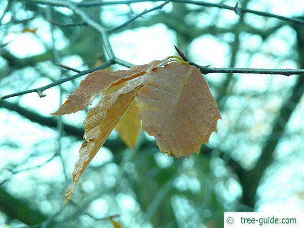 american beech (Fagus grandiflora) autumn colouring