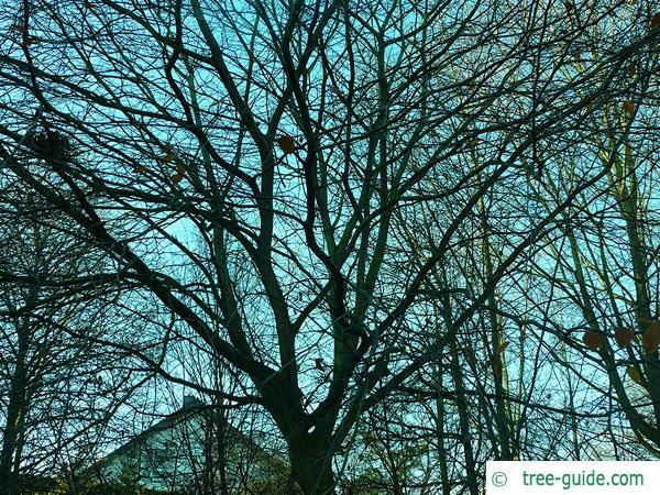 american beech (Fagus grandiflora) tree crown in winter