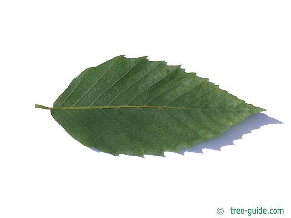 american beech (Fagus grandiflora) leaf underside