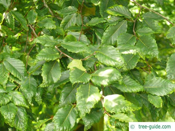 american beech (Fagus grandiflora) leaves