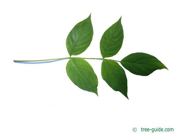 american bladdernut (Staphylea trifolia) leaf