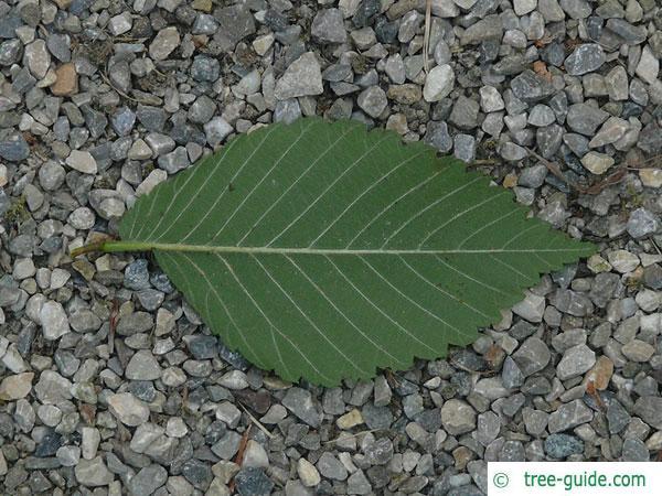 american elm (Ulmus americana) leaf underside