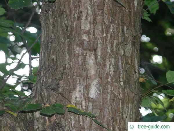 american elm (Ulmus americana) trunk / bark