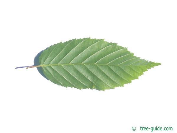 american hornbeam (Carpinus caroliniana) leaf underside