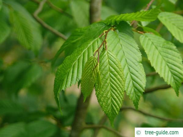 american hornbeam (Carpinus caroliniana) leaves
