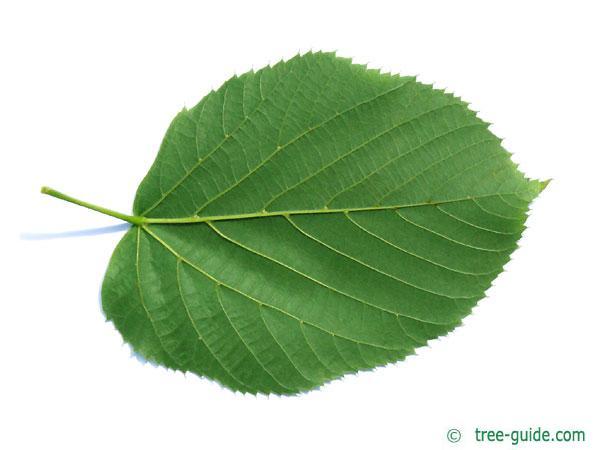 large leaved american lime(Tilia americacna 'Nova') leaf underside