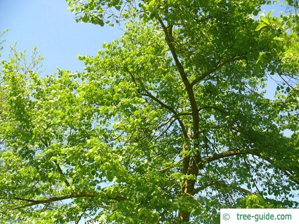 american Lime (Tilia americana) crown