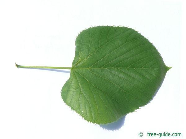 american Lime (Tilia americana) leaf
