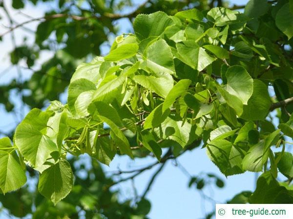 american Lime (Tilia americana) foliage