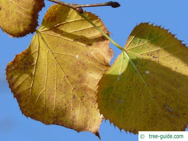 american Lime (Tilia americana) autumn colouring
