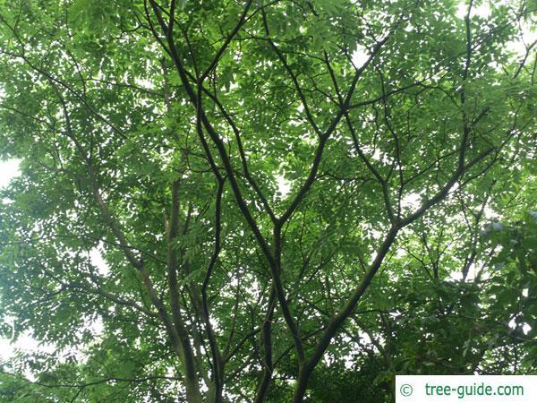 amur maackia (Maackia amurensis) crown in summer