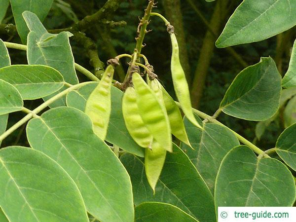 amur maackia (Maackia amurensis) fruit (pods)