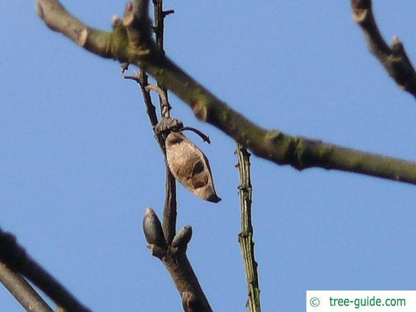 amur maackia (Maackia amurensis) pod in Winter