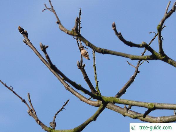 amur maackia (Maackia amurensis) winter characteristics