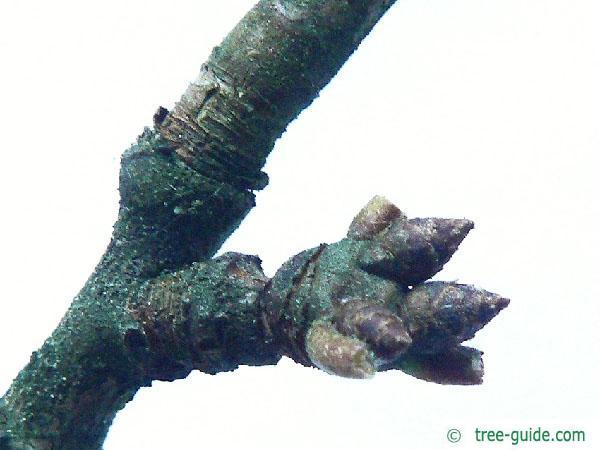 apple (Malus hybrid) bud