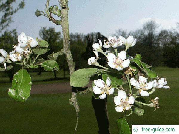 apple (Malus hybrid) flower