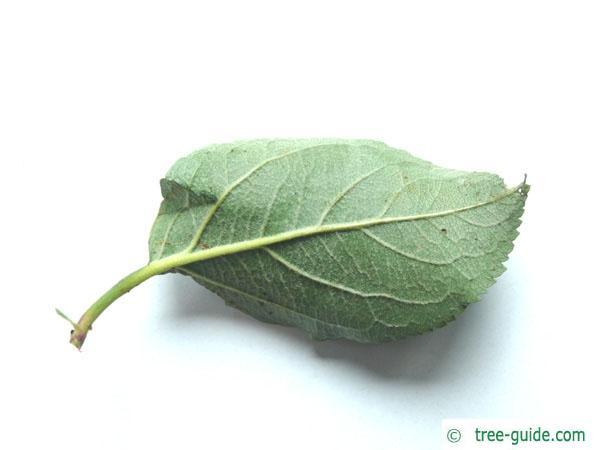 apple (Malus hybrid) leaf backside