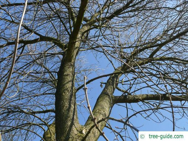 arizona ash (Fraxinus velutina) crown winter
