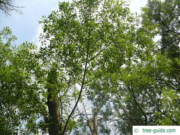 arizona ash (Fraxinus velutina) crown summer