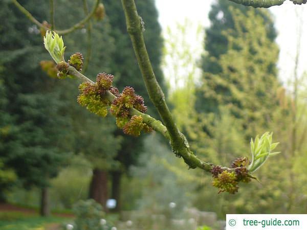 arizona ash (Fraxinus velutina) flower budding