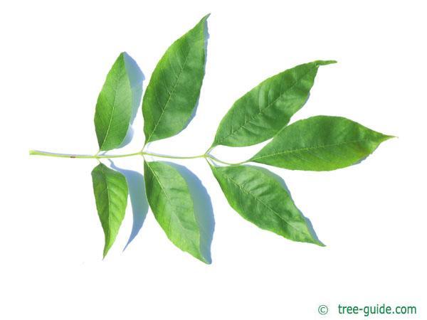 arizona ash (Fraxinus velutina) leaf