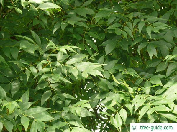arizona ash (Fraxinus velutina) leaves in summer