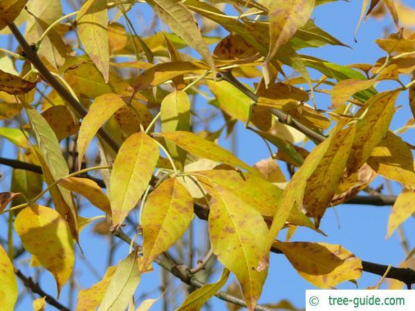 arizona ash (Fraxinus velutina) leaves in fall