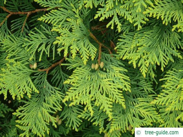 atlantic white cedar (Thuja occidentalis) branches