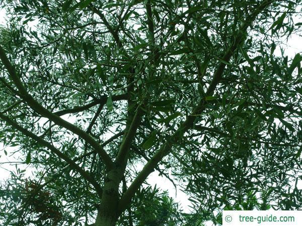australian blackwood (Acacia melanoxylon) crown of an older tree