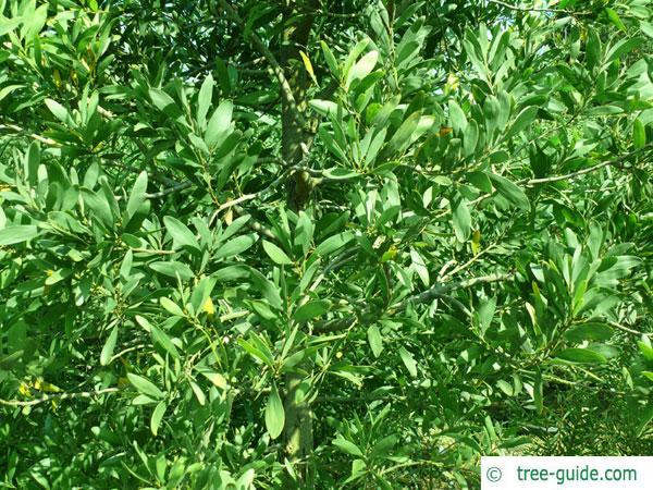 australian blackwood (Acacia melanoxylon) leaves