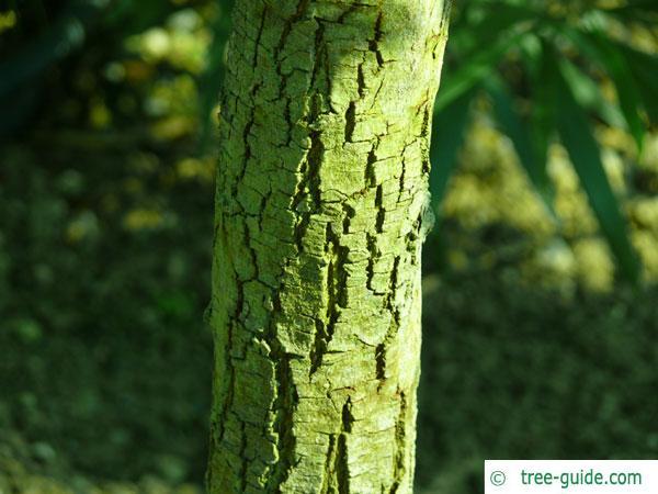 australian blackwood (Acacia melanoxylon) trunk / bark young tree