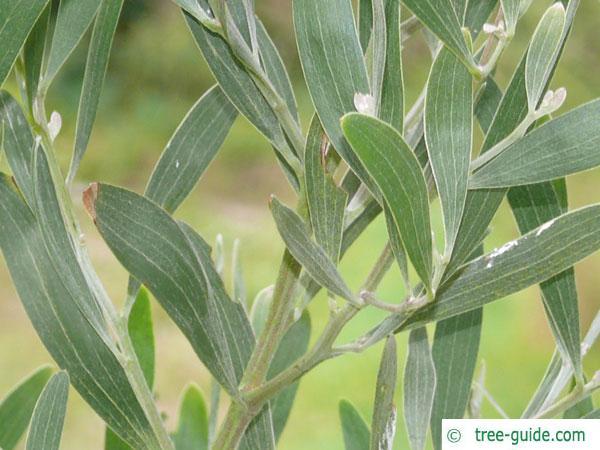australian blackwood (Acacia melanoxylon) branch with leaves